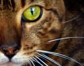 Cat, Lemon Green Cat Eye, Whiskers, Kitty Cat, Tiger Bengal  - 8x8 Photography Print