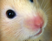 Golden hamster, whiskers, cute and cuddly animals, critter pet, - 8x8 Photography Print