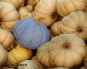 SALE - Rustic blue pumpkin, spooky halloween harvest, fall home decor, kitchen food art - 8x10 Photography Print