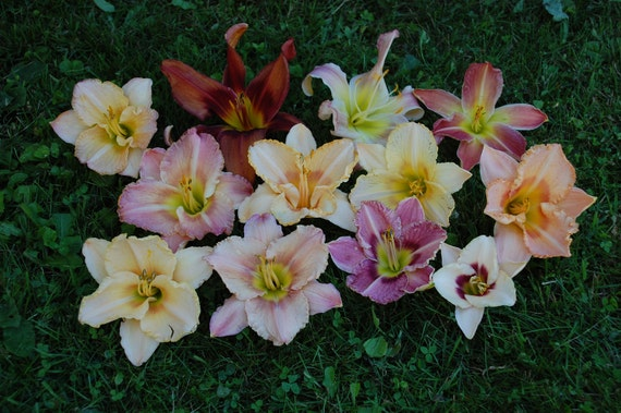 Daylily Plants Landscaping Mix ship to Canada only plant this spring for summer bloom