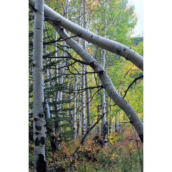 Leaning aspen trees in fall colors fine art photograph print 8x10