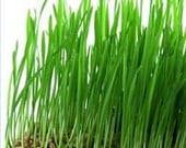 1lb Wheat Seed, Wheat Grass, CatGrass, Wheat Juice