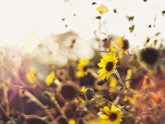 Flower Photography - fine art photography yellow sunflowers in the sun 8x10 photograph original photo prints wall art