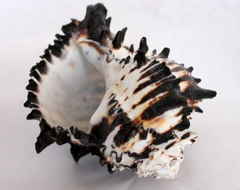 Seashell- Black and White Murex, 5 inches