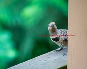 Northern Flicker Matted Print 11x17 (Pick a Pic)
