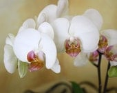 Orchid Photograph, White Orchid, Flower Photo, Home Decor, 8x10, White and Gold, Fine Art Photograph