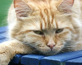 Cat Photo, 8 x 8 Photo, Orange Cat Art Photo, Resting Orange Cat, Gus the Cat Photograph