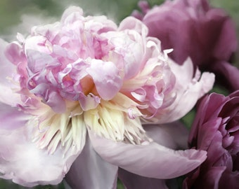 Peony Photograph, - Peony Print - 8x10 Photo, Archival Fine Art Photo, Flower Close Up, Pinks and Purples