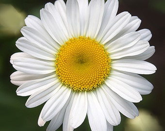 Flower Photography, Fine Art Photo, 8x8 Print, Floral Photo, White and Yellow, Daisy Photo, Wall Decor