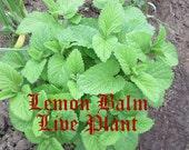 Organic, Heirloom, Home Grown Lemon Balm Labiatae. Melissa officinalis