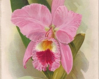 Original Victorian Chromolithograph - Cattleya Labiata - c1885 - Beautiful floral print - over 100 years old - Antique. Orchids