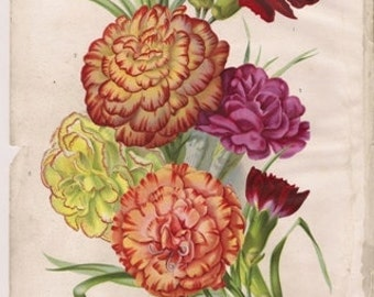 Original Victorian Chromolithograph - carnation - floral print - over 100 years old - Antique. Carnations. c1895