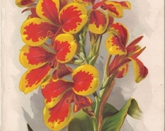 Original Edwardian Chromolithograph - Canna Koenigin Charlotte - floral print - over 100 years old - Antique.