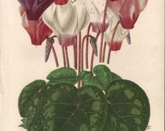 Original Victorian Chromolithograph  - wonderful colour print of Cyclamen Perciccum - Flower print c. 1880 by J L MacFarlane