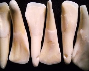 5 Real Bone Water Buffalo Teeth Taxidermy Genuine Tooth Bones Pendant