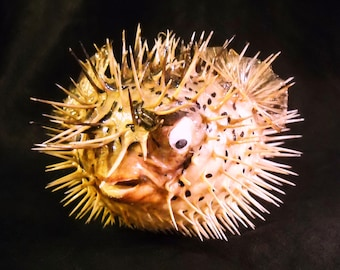 """7-10"""" Taxidermy Puffer Fish Real Preserved Dried Large Blowfish Porcupine Fish Animal Specimen Macabre Horror Decoration"""