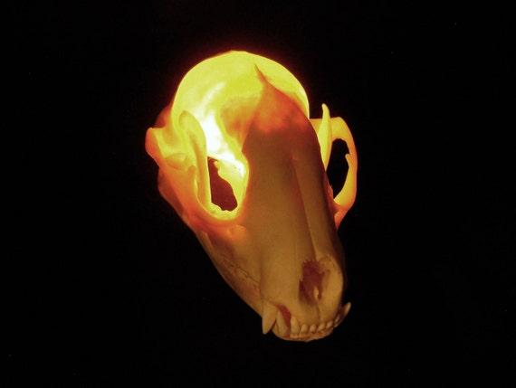 Lighted Skull Real Bone Raccoon Animal Skull Lamp Taxidermy night light weird art lighting
