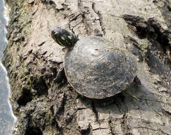 Tiny Turtle