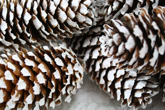 Blue Spruce PINE CONES, White Painted, Table Decorations, Craft Supply, Montana Grown