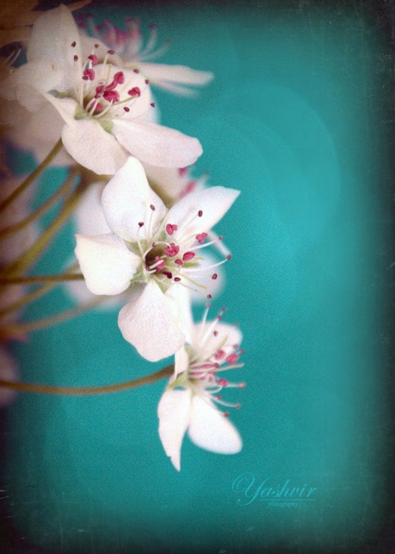 Cherry blossoms 2- Photography print of flowers. Rustic Blue teal background. Enchanted and romantic. Spring home decor.