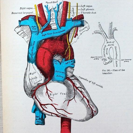Vintage anatomical drawing medical illustration the heart