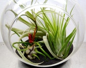 Hanging Air Plant Terrarium Tillandsias in Glass Globe - Plantzilla