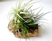 Tabletop Garden: Air Plants on Sustainable Virgin Cork Bark