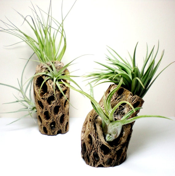 Air Plants in Cholla Cactus wood: tabletop air plant handmade display