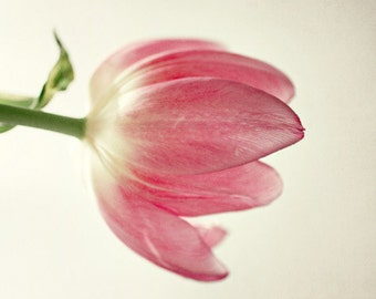 the tulip, flower, pink, spring, fine art photography