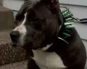 Spiked Leather Dog Collar: Latigo, 2 inch, Powder Coated Spikes