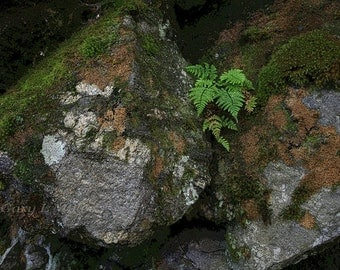 Fern In Rocks Graphic - Fine Art Print - Color Enhanced - 8x10