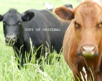 "Print Only - Fine Art Original Photograph ""Cows"""