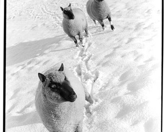 Clun Forest sheep - Silver gelatin print