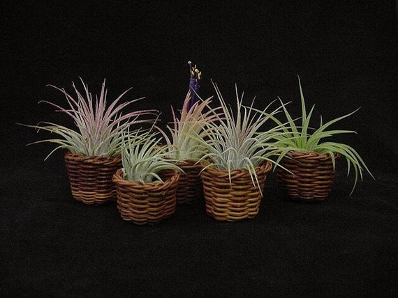Tillandsia ionantha-5 Plants in Miniature 1 1/4 Inch Wicker Baskets