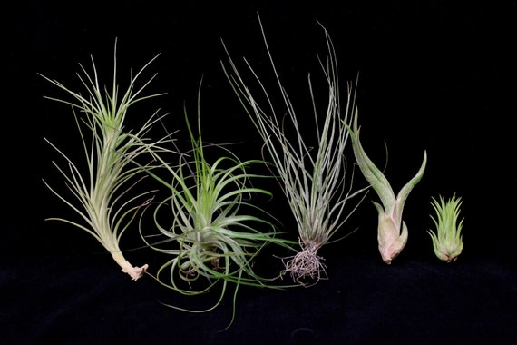 Airplant/Tillandsia 5 Different-Collection 3-E Z 2Grow