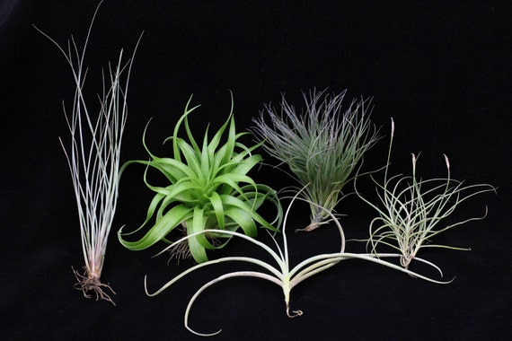 Airplant/Tillandsia 5 Different-Collection 7-E Z 2Grow