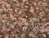 Photograph Gypsophila, Fine art, Original, Old Pink