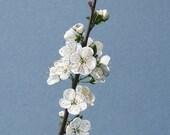 Prunus Blossom Art Print