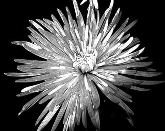 8X10 Print - Black & White Mum Flower