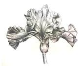 Iris 1 - Print