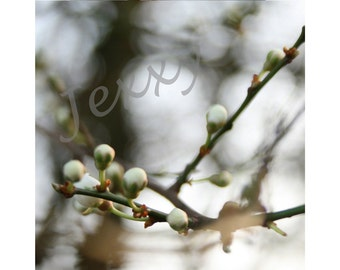 Hawthorn buds, Spring is in the air - Original Photographic Print