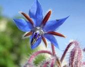 Heirloom 250 Seeds Borage Borago officinalis Garden Flower Bulk seeds B0111