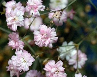 Heirloom 1200 Seeds Gypsophila Rosea Pink Babys breath Bulk Perennials Flower Seeds S066