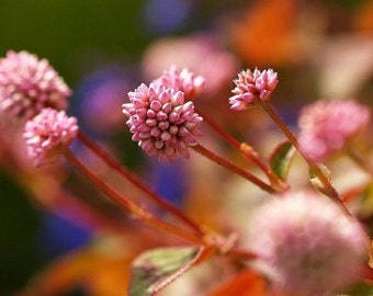 Heirloom 220 Seeds Knotweed Polygonum Bistort Wiregrass Knotgrass Tear Thumb Pink Seeds B0039