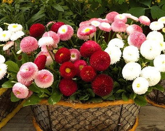 Heirloom 2000 SEEDS MIXED English Daisy Monstrosa Corsican Bellis Perennis Flower S023