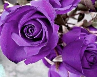 Heirloom 100 Seeds Purple Roses Violet Rose Garden Double Flower Bulk Seed Perennials B3000