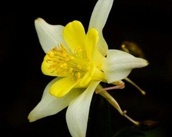 Heirloom 400 Seeds Aquilegia Columbine Perennial Yellow Giant Star Flower Bulk Seeds S6010