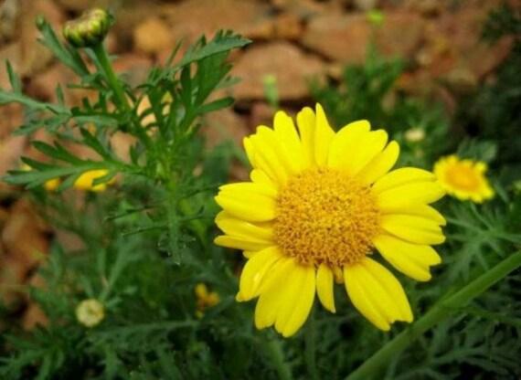 Heirloom 1500 Seeds Marigold Crown Daisy Flower For Grow Bulk Seeds B1028