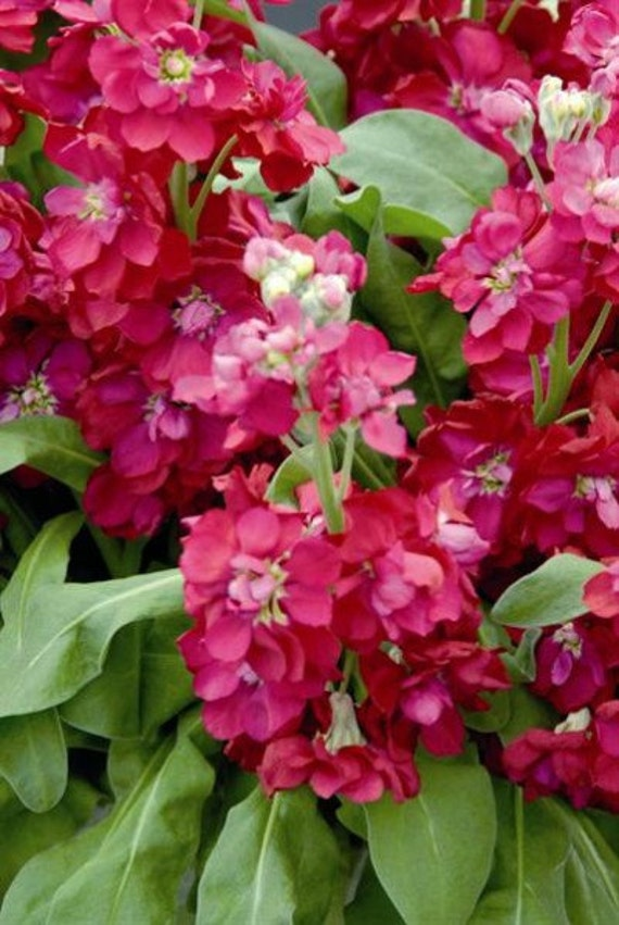 Heirloom 200 Seeds Matthiola incana Perfume Plant Gillyflower Night scented Pink 200 Seeds B2087