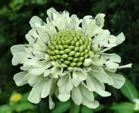 Heirloom 200 SEEDS Green Scabiosa Sweet Scabious Plant Pincushion Zinnia Garden Flower B3128